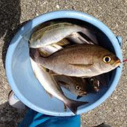 釣った魚がバケツいっぱい